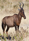 Red Hartebeest - Namibia. Red Hartebeest (Alcelaphus buselaphus) in Etosha National Park in Namibia Royalty Free Stock Photos