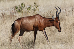 Red Hartebeest - Namibia royalty free stock images