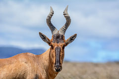 Red Hartebeest Portrait Royalty Free Stock Images