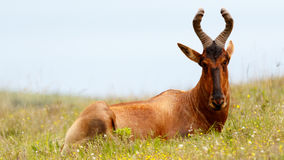 Red Hartebeest Posing. Addo Elephant National Park is a diverse wildlife conservation park situated close to Port Elizabeth in South Africa and is one of the royalty free stock images