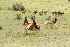 Red Hartebeest resting between the grass Royalty Free Stock Photography