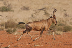 Red hartebeest running. Medium-sized antelope, high at shoulders sloping down to rump, both sexes horned,long and narrow face with black blaze, reddish body with Stock Photography