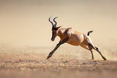 Red hartebeest running Royalty Free Stock Photos