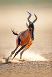 Red hartebeest running Stock Photography