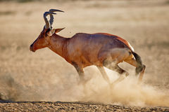 Red hartebeest running Royalty Free Stock Image