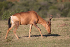 Red hartebeest Stock Photos