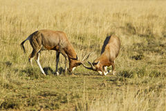 Red Hartebeest sparing Stock Photography
