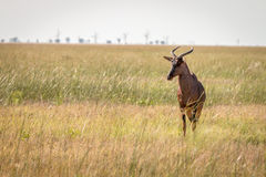 A Red hartebeest standing in the grass. Royalty Free Stock Photography