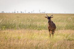 A Red hartebeest standing in the grass. Stock Images