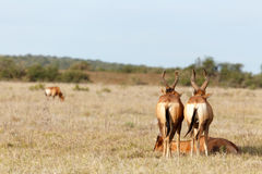 Red Hartebeest standing guard over there sleeping brother. In the field Royalty Free Stock Photo