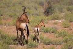 Red Hartebeest standing in open field with calf. Alcelaphus buselaphus royalty free stock photos