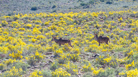 Red Hartebeest walking in the bush. Wildlife Safari in the Karoo National Park, travel destination in South Africa. Stock Image