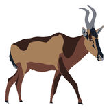 Red Hartebeest walking, seeen from side Royalty Free Stock Image