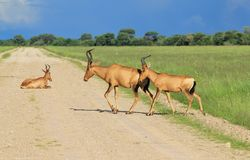 Red Hartebeest - Wildlife Background - Road Users Royalty Free Stock Images