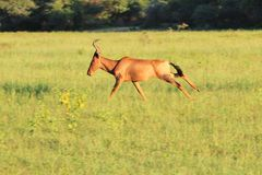 Red Hartebeest - Wildlife Background - Run of Speed Royalty Free Stock Image