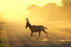Red Hartebeest - Wildlife Background - Running Dust Royalty Free Stock Photos