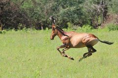 Red Hartebeest - Wildlife Background - Speed and Power Royalty Free Stock Photo