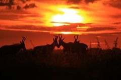 Red Hartebeest - Wildlife Background - Sunset and Color Beauty in Nature Royalty Free Stock Images