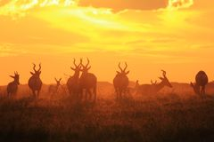Red Hartebeest - Wildlife Background - Sunset Tranquility Beauty in Nature. A Red Hartebeest herd feeds over an open field, as seen in the wilds of Africa Stock Images