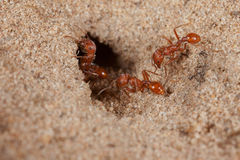 Red harvester ant (Pogonomyrmex barbatus). Crawling into nest Royalty Free Stock Photos