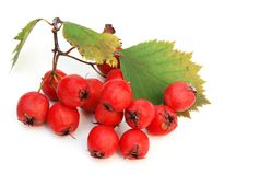 Red haw berries Stock Images