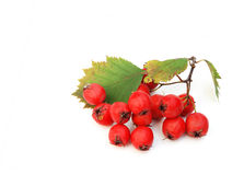 Red haw berries Stock Image