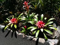 Red Flowers. Red Hawaiian flowers in bright sunlight Royalty Free Stock Photos