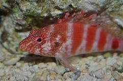 Red Hawaiian hawk fish Stock Photos