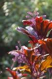 Hawaiian Ti Plant, Maui. A red Hawaiian Ti Plant in Maui, Hawaii Stock Image