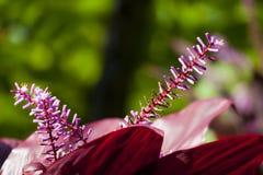 Hawaiian Ti Plant, Maui. A red Hawaiian Ti Plant in Maui, Hawaii Stock Photos