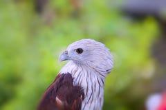 Red hawk stock image
