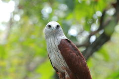 Red Hawk Royalty Free Stock Images