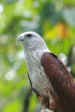 Red Hawk Royalty Free Stock Photos