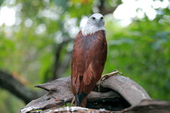 Red Hawk Royalty Free Stock Image