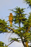 Red Hawk on the tree. Royalty Free Stock Image