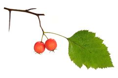 Red hawthorn Royalty Free Stock Image