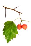 Red hawthorn Stock Photography