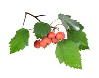 Red hawthorn Royalty Free Stock Images