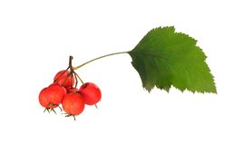 Red hawthorn Royalty Free Stock Photography