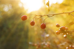 Red hawthorn berries Stock Photos