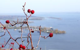 Red hawthorn berries Royalty Free Stock Photography