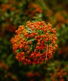Red hawthorn berries arround royalty free stock image