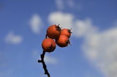 Red Hawthorn Berries stock image