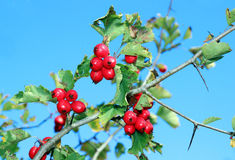 Red hawthorn berries on a branch Stock Photo