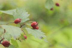 Red hawthorn berries on green background. Branch of red hawthorn on the green soft background stock photography