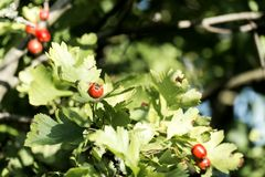Red hawthorn berries in green foliage. Crataegus Stock Image