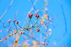 Red hawthorn berries, healthy wild fruits, blue sky Royalty Free Stock Images