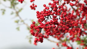 Red hawthorn berries stock video