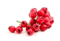 Red hawthorn branch. Royalty Free Stock Photography
