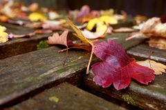 Red hawthorn leaf on a wooden bench covered with leaves. Close-up of red hawthorn leaf on a weathered wooden bench covered with fall leaves Stock Photography